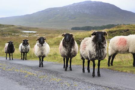 connemara: Herd of white sheep with black head on the road. Connemara National Park. Republic of Ireland.