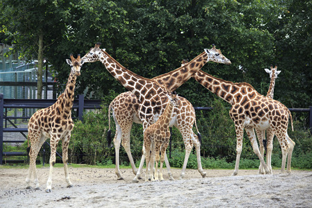 Herd of giraffes with cub. Oldest zoos in Europe. Republic of Ireland. Фото со стока