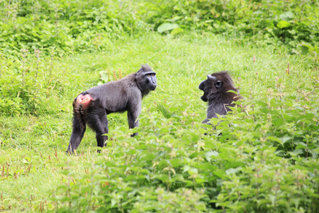 swear: Sulawesi crested macaques swear. Oldest zoos in Europe. Republic of Ireland.