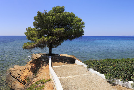 sithonia: Beautiful summer view of a lone pine and the Aegean Sea. Sithonia peninsula. Greece.