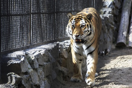 novosibirsk: Beautiful Siberian tiger in a cage. Novosibirsk Zoo. Russia. Stock Photo