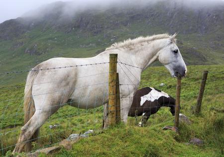 connemara: White horse tries to break the fence column. Connemara National Park. Stock Photo