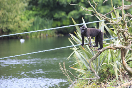 sulawesi: Sulawesi crested macaque. Oldest zoos in Europe. Republic of Ireland.