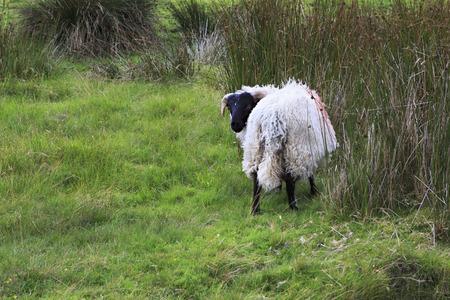 connemara: White sheep with black head. Connemara National Park. Republic of Ireland.
