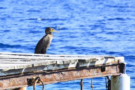sithonia: Grande cormorano. Penisola di Sithonia in Grecia. Phalacrocorax carbo