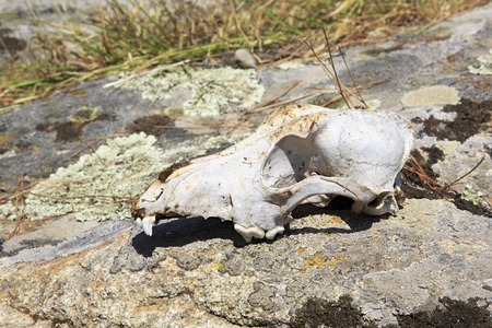 sithonia: Skull cattle on the rock. Sithonia peninsula in northern Greece.