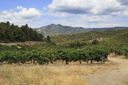 sithonia: Vineyards in the mountains. Sithonia peninsula in northern Greece.
