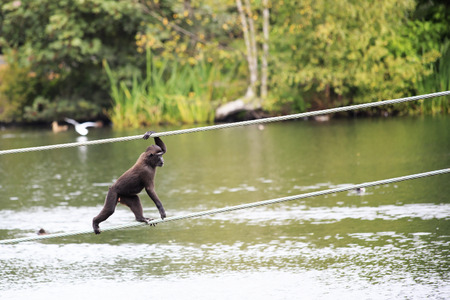 sulawesi: Sulawesi crested macaque moved across the pond. Oldest zoos in Europe. Republic of Ireland.