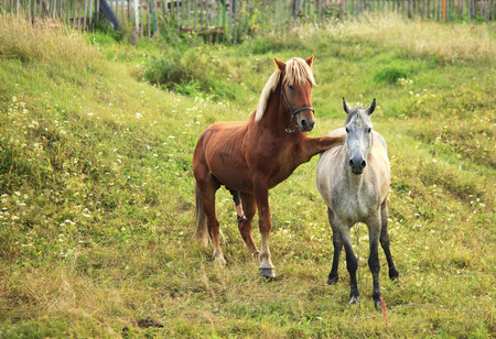 animal mating: Coupling horses.