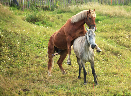 coupling: Coupling horses. Summer season of courtship animals. Stock Photo
