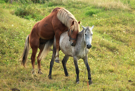 reproduction animal: Coupling horses. Summer season in the village.