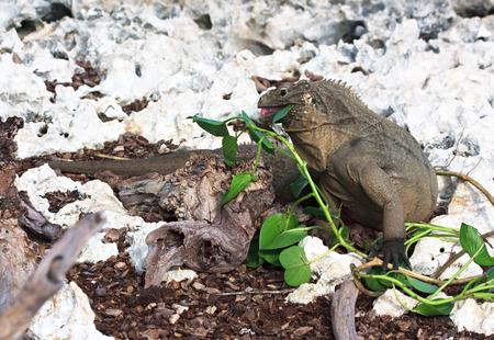 eats: Wild iguana eats fresh leaves. On east calendar 2012 - year of a dragon.
