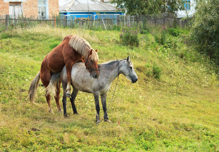animal mating: Coupling horses. Summer season in the village.