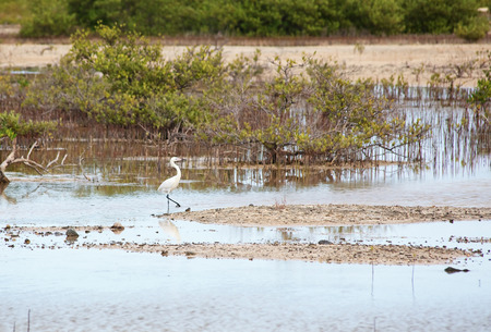 median: Median Egret in the Cayo Guillermo. Cuba Stock Photo