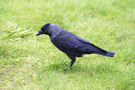 jackdaw: Western jackdaw. Oldest zoos in Europe. Republic of Ireland. Stock Photo