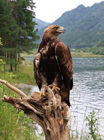 Golden eagle. Aquila chrysaetos in the Altai