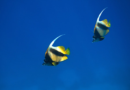 fauna: Bannerfish del Mar Rojo. Flora y fauna del Mar Rojo. Foto de archivo