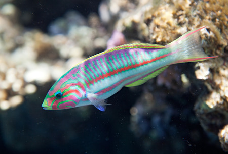 wrasse: Klunzingers wrasse. Flora and fauna of the Red Sea. Stock Photo