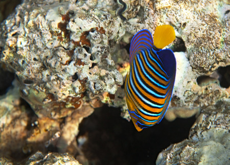 royal angelfish: Royal angelfish. Flora and fauna of the Red Sea.