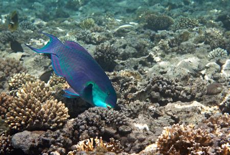 fauna: Heavybeak parrotfish. Flora and fauna of the Red Sea.