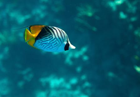 fauna: Chaetodon auriga. Flora y fauna del Mar Rojo.