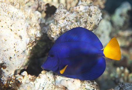 fauna: Yellowtail tang. Flora y fauna del Mar Rojo. Foto de archivo