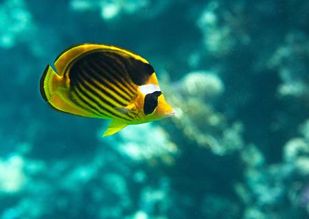 fauna: Mariposa Diagonal-alineados. Flora y fauna del Mar Rojo Foto de archivo