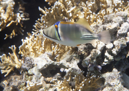 triggerfish: Picasso triggerfish. Flora and fauna of the Red Sea.