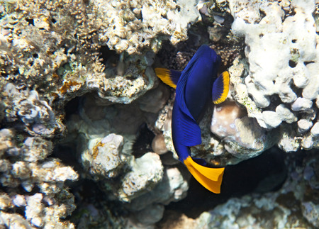 fauna: Yellowtail tang. Flora and fauna of the Red Sea.