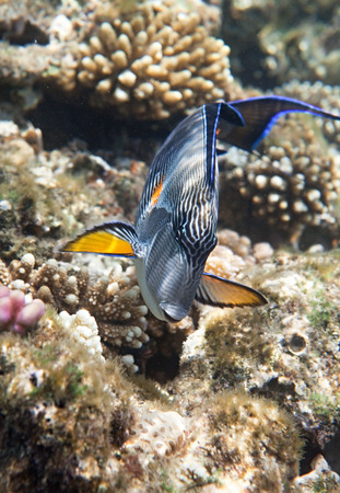 sohal: Sohal surgeonfish. Flora and fauna of the Red Sea.