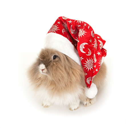 lionhead: Lion head rabbit in the New Year hat.