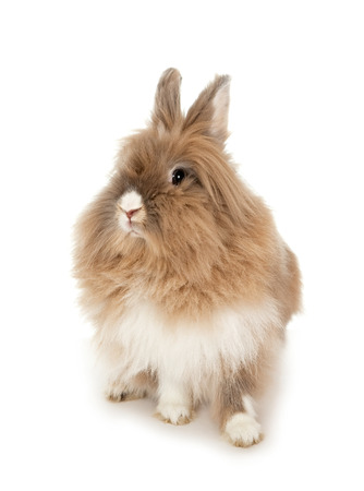 lionhead: Lion head rabbit.  Stock Photo
