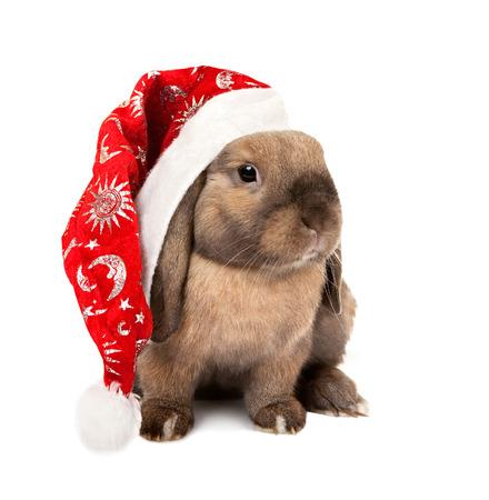 enano: Conejo enano de orejas ca�das engendra Ram.