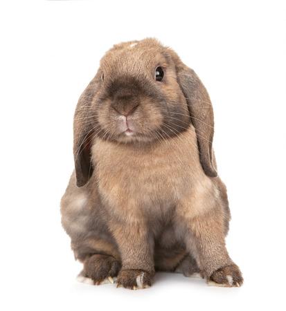 dwarf: Dwarf lop-eared rabbit breeds Ram.