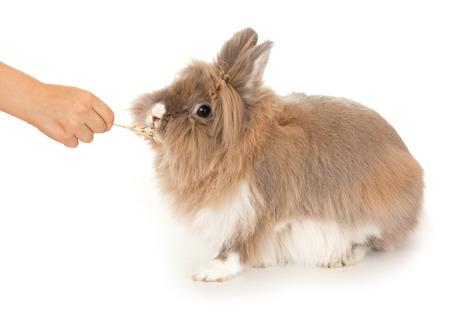 lionhead: Rabbit eats an ear of wheat. In the Oriental calendar 2011 - the year of rabbit.