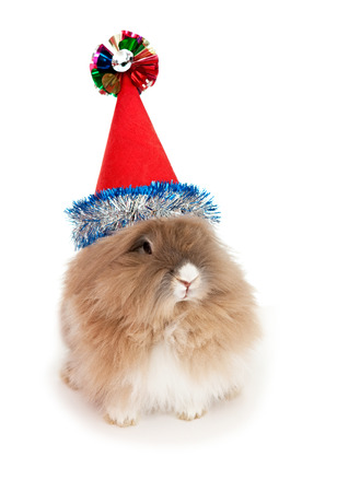lionhead: Lionhead rabbit in the New Year hat. In the Oriental calendar 2011 - the year of rabbit.