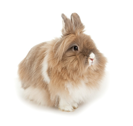 lionhead: Lionhead rabbit. In the Oriental calendar 2011 - the year of rabbit.