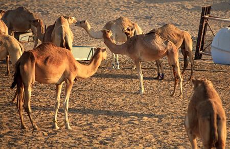 herbivore: Herd of Arabian camel in the desert.