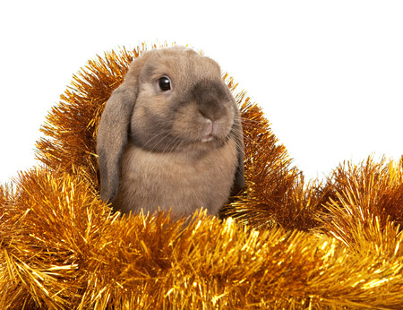 dwarf christmas: Dwarf rabbit in the Christmas tinsel. In the Oriental calendar 2011 - the year of rabbit.
