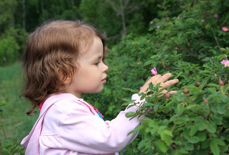 admires: A little girl admires the flower of wild rose. Stock Photo
