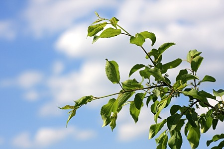 wilding: Apple-tree faded. Branch of apple-tree on a background sky.