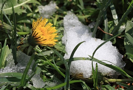 dandelion snow: A dandelion bloomed and fallen out in May snow.