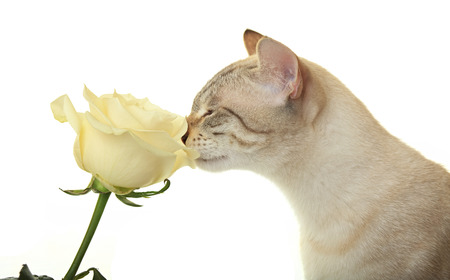 sniffing: Cat sniffing a white rose.
