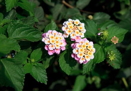 lantana camara: Lantana camara. Exotic tropical flower. Summer nature Stock Photo