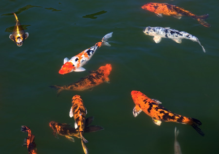 koi fish pond: Flock of fish Koi in the pond.