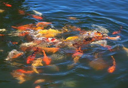 food fight: Fish Koi fight for food. Belek in Turkey.