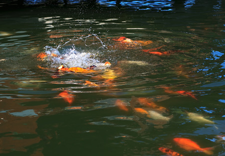 food fight: Fish Koi fight for food in Turkey.