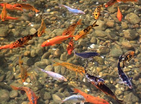ornamental fish: Carpa Koi. I pesci ornamentali per lo stagno. Archivio Fotografico