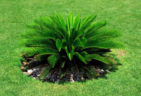 cycas: Cycas Revoluta. Plant growing in warm climates.