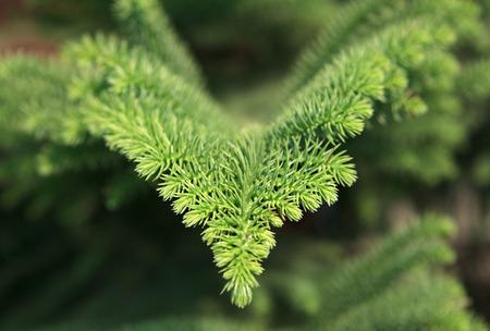 Araucaria excelsa. Exotic evergreen conifer. photo